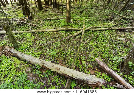 Old forest and common wood sorrel