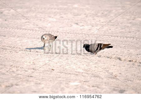 Seagull And Pigeon