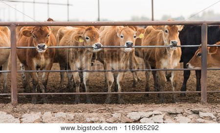Cattle Chewing Gnawing Metal Fence Rail Farm Ranch Livestock