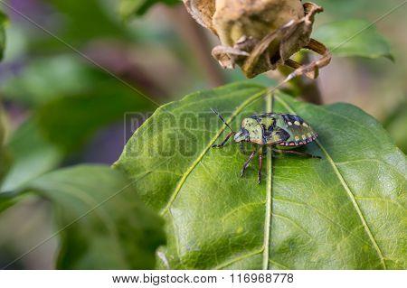 Green Stink Bug