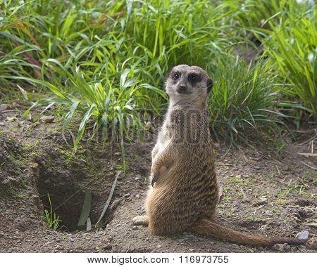 Single Meerkat Standing Up In The Grass Looking For Predators