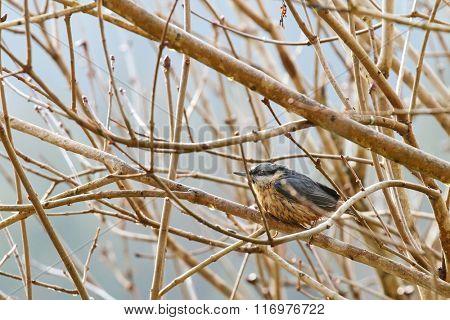 Soaking wet Eurasian wood Nuthatch bird (Sitta europaea) perching on a branch during the rain in winter, Europe
