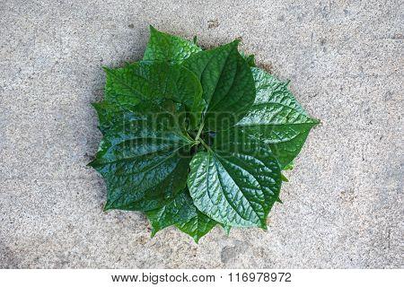 Piper Sarmentosum Leaf