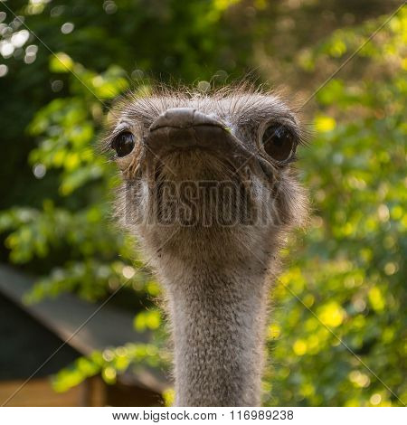 Ostrich Portrait On A Green Leaves Background