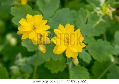 Bright Yellow Flowers Of Greater Celandine