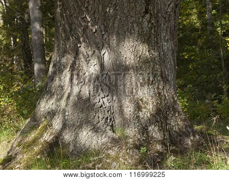 Closeup, macro of an old tree, the trunk.