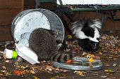 Raccoon (Procyon lotor) and Skunk (Mephitis mphitis) Raid Trash - captive animals poster