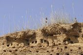Swallow nests on the top of sandy cliff poster