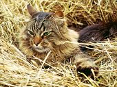 fur cat in hay  outdoor cloudy day summer poster