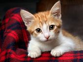 Portrait of a kitten with amazing yellow eyes. The kitten is small, white and red. At koa large yellow eyes and big ears. Portrait of a big cat on a background of red plaid poster