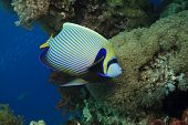 Emperor Angelfish (Pomacanthus imperator) on coral reef poster