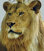 close-up shot of a male lion taken in milwaukee zoo. poster