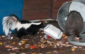 Striped Skunk (Mephitis mephitis) Watches as Raccoon Raids Trash Can - captive animals poster