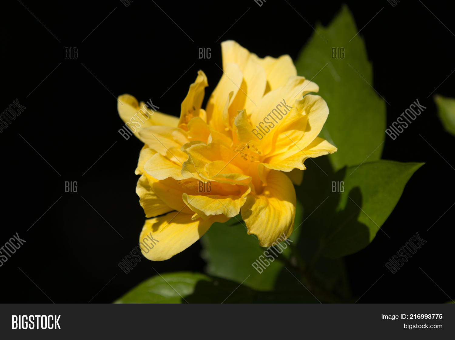 Yellow hibiscus flower image photo free trial bigstock yellow hibiscus flower in black dard background izmirmasajfo