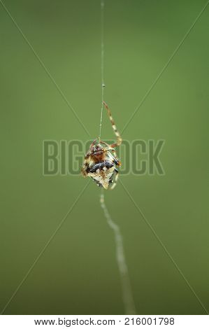 An arrowhead orb weaver spider on a single strand of silk.