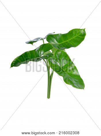 fresh Draft Bouquet or Green Shag leaves on white background