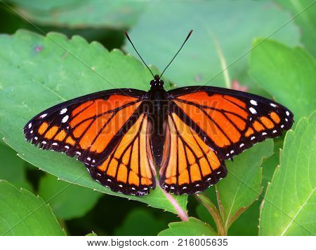 Viceroy Butterfly (Limenitis archippus) on vegetation in northern Illinois