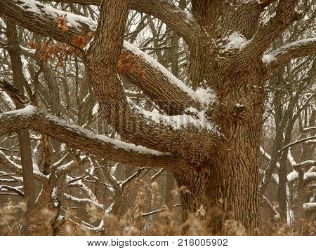 Oak tree dusted with winter snow in the Midwest United States