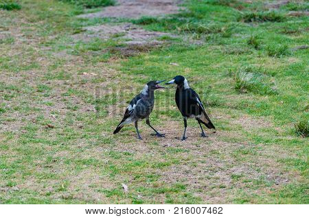 Adult Australian Magpie bird feeding its youngster juvenile magpie. Nature scene