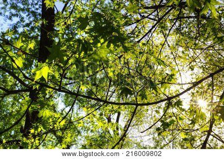 summer green mapple hanging sunshine - forest background