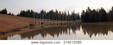 Herd of wild horses reflecting in the water in the Pryor Mountains Wild Horse Range in Montana United States