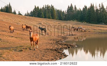 Young red bay stallion with herd of wild horses at waterhole in the Pryor Mountains Wild Horse Range in Montana Unted States