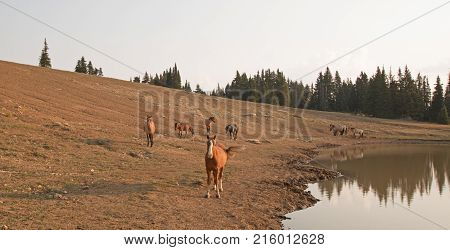 Red Bay Dun Stallion in the morning sun with herd of wild horses at waterhole in the Pryor Mountains Wild Horse Range in Montana United States