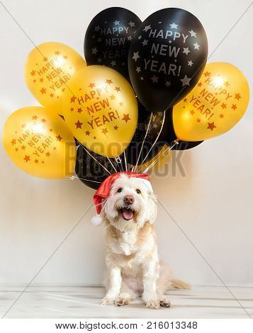 Pet in New Year cap with inflatable balls. Balloons happy new year. Merry Christmas greeting card. Year yellow dog. Colored balloon, Funny animal