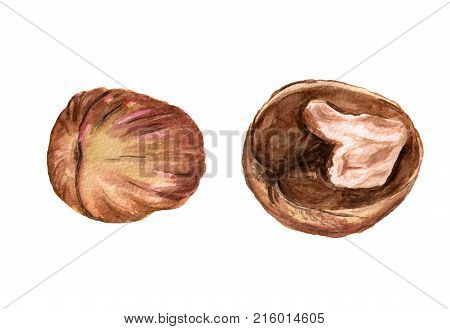 Watercolor Image Of Whole And Half Of Walnut On White Background