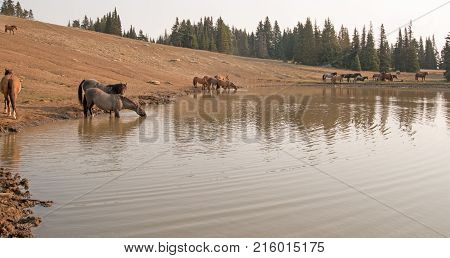 Herd of wild horses in the morning at waterhole in the Pryor Mountains Wild Horse Range in Montana United States