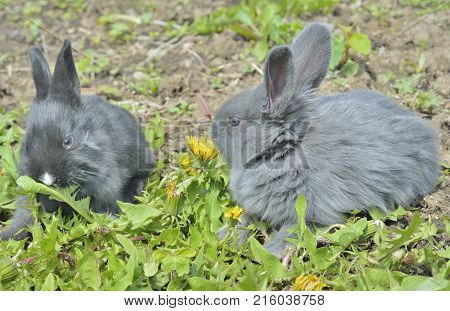 A close up of the two young rabbits eating dandelion.