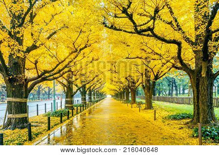 Row of yellow ginkgo tree in autumn. Autumn park in Tokyo Japan.