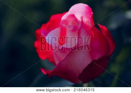 Blurred Nature Background. Cropped Shot of A Beautiful Red Rose. A photo of a beautiful pink rose in the garden. A photo of a beautiful rose. A beautiful red rose bud against dark background.