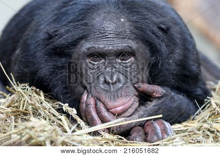 A funny looking Bonobo close up portrait