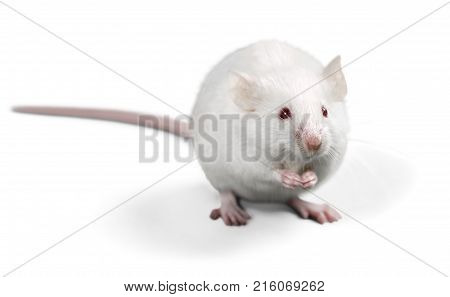 White lab laboratory rat white background red background