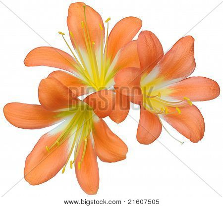 Three  flowers of lily of clivia kind And White Background Layer