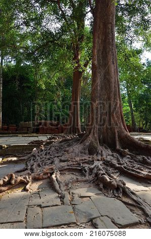 Giant banyan tree growing on the ruins of the temple Ta Prohm in Angkor Wat Siem Reap Cambodia