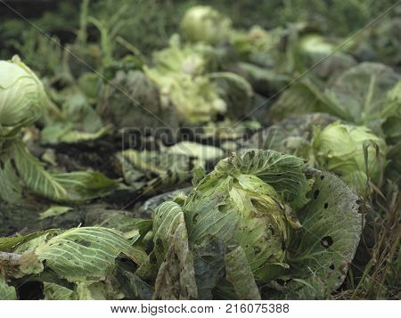 Spoiled cabbages caused by cold weather damage outdoor closeup