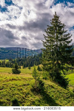 Spruce Tree On A Grassy Slope Under Cloudy Sky