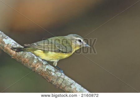 Tennessee Warbler   001 J