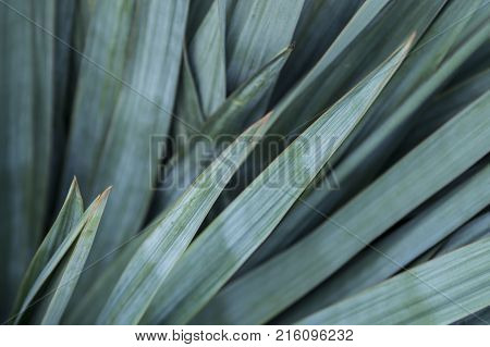 An ornamental shrub that grows in the garden. Green leaves extends in all directions. Long leaves resemble spears. The edges of the leaves are yellow and sharp. The tops are dangerous, graceful and aerodynamic.