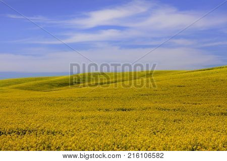 Rapeseed fields in Palouse washington