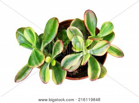 Houseplant Crassula or jade tree in pot isolated on white background with clipping path.