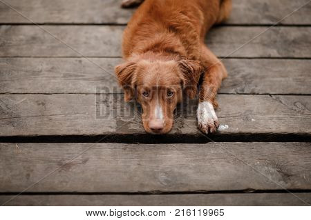 Dog Nova Scotia duck tolling Retriever lies on a wooden pier at forest lake