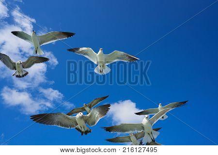 Seagulls sea gulls group flying on blue sky in Caribbean sea