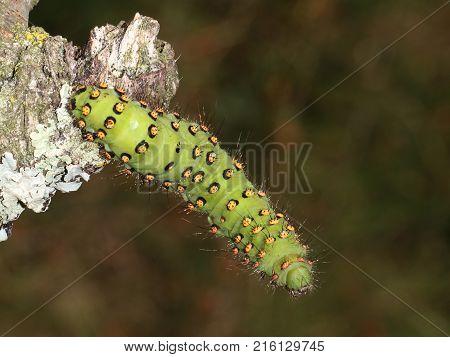 A Caterpillar on a blackberry bush close-up