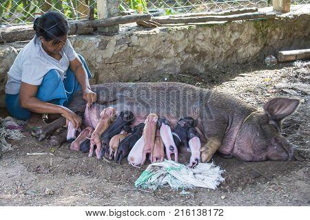 BAGAN MYANMAR SEP 06 : A pig suckling piglets in a village near Bagan on September 06 2017