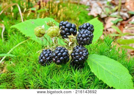 A cluster of ripe healthy and delicious wild blackberries in green moss