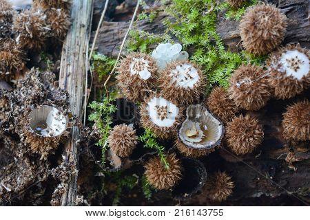 Unusual inedible mushrooms Cyathus striatus or Fluted Bird's Nest mushroom in natural habitat rotten wood near mountain spring