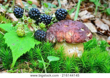 Boletus pinophilus or Pine Bolete mushroom and ripe wild blackberries sharing habitat in green moss
